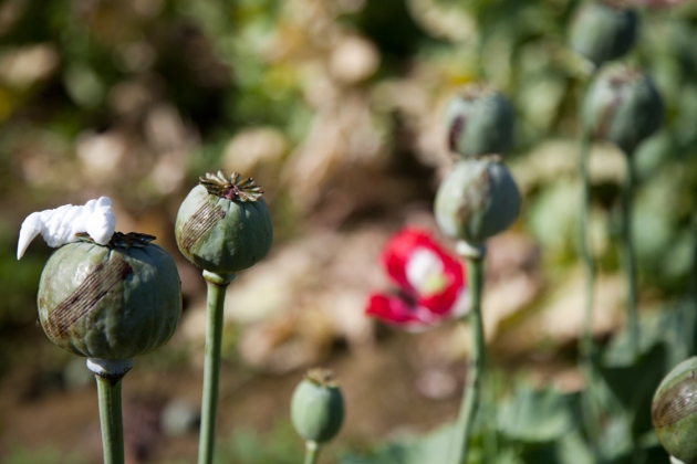 opium-fields-11